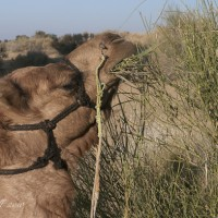 camel-safari-rajasthan-india.jpg