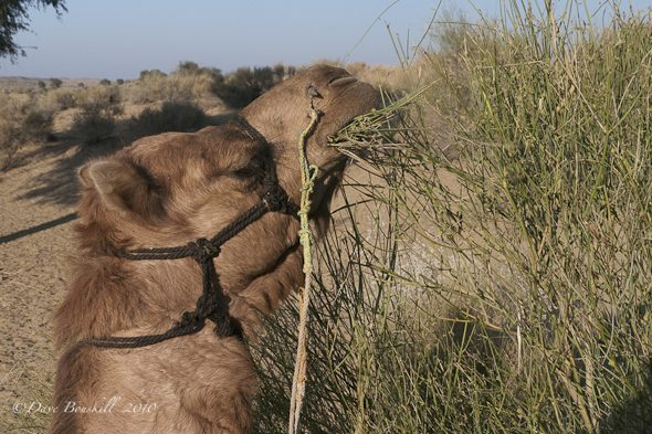 Another Camel Safari in Rajasthan, Two Times a Charm