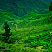 cameron-highlands-tea-field