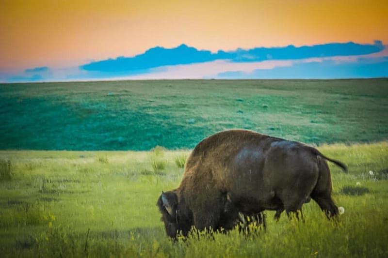 Canada adventures bison in Saskatchewan