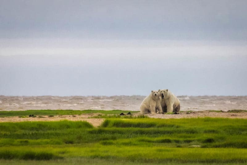 best Canada adventures walking with polar bears