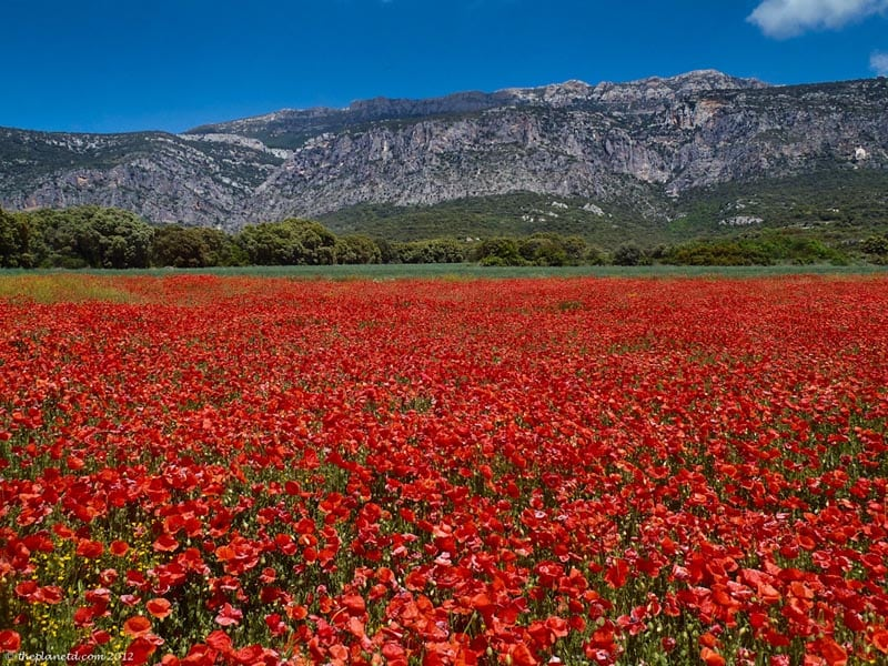 poppy field of Catalunya Spain