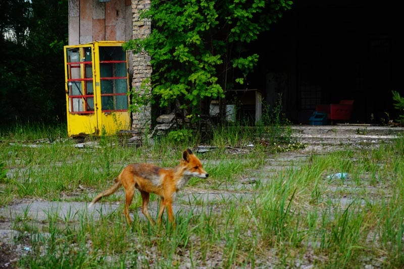 chernobyl disaster pictures fox running