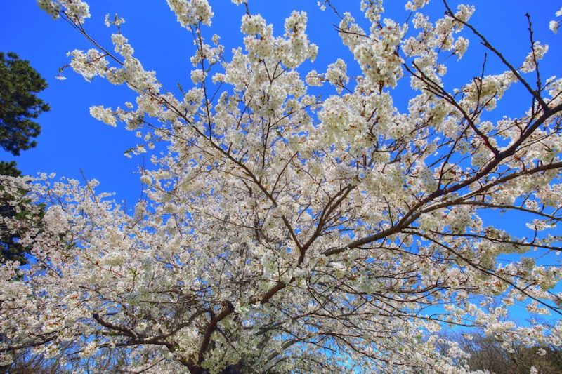Things to see in Tokyo   cherry blossoms
