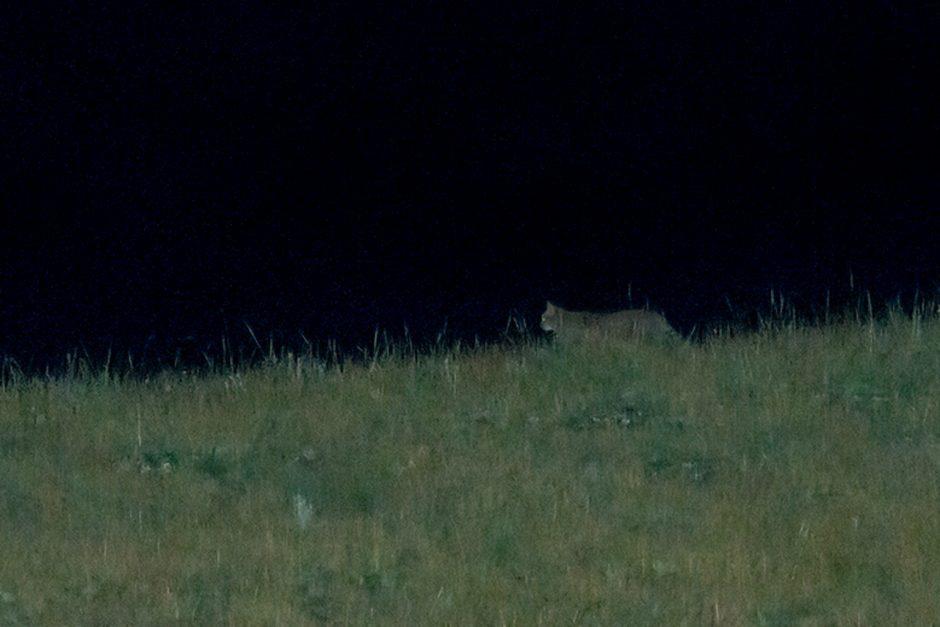 chinese mountain cat night