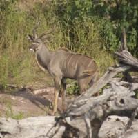 chobe-botswana-africa-impalla.jpg