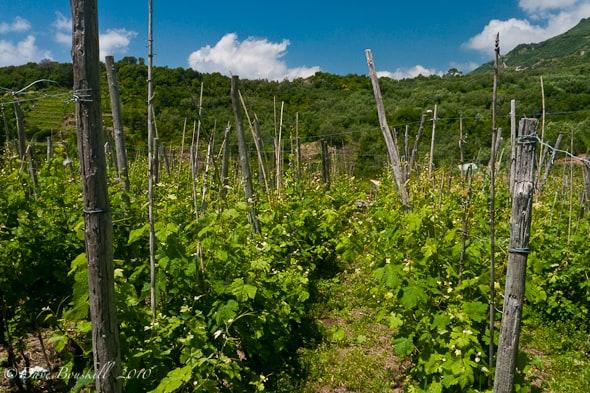 cinque-terres-walk vineyards
