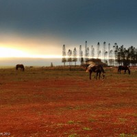 horses at sunset on island of Lanai Hawaii