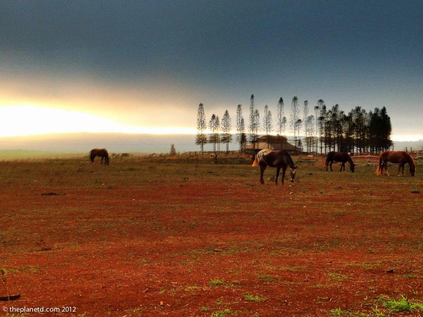 horses at sunset on island of Lanai Hawaii