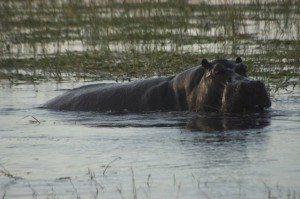 Hippo on Chobe River Cruise