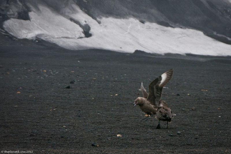 deception island birds