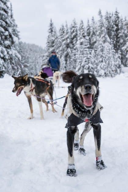 banff dogs