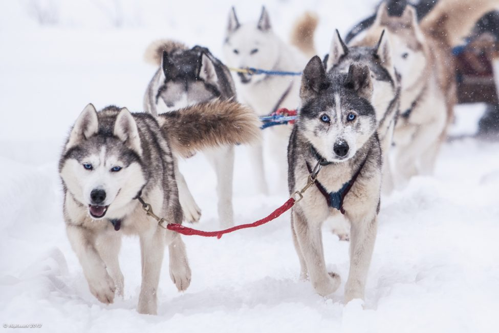 Yukon Quest training - Sled dogs love to run
