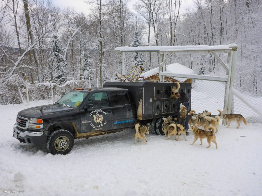 These dogs couldn't wait to get in the truck at Winterdance Dogsledding.