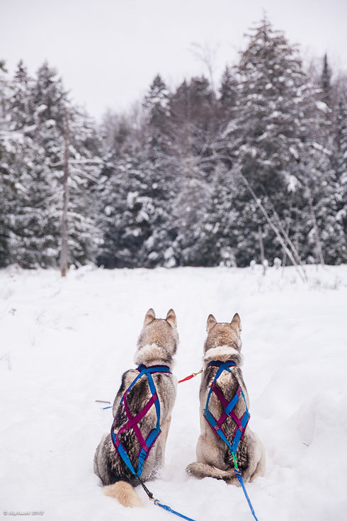 dogsledding ontario forest