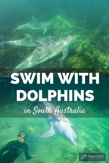 Swimming with dolphins is unforgettable wildlife experience. Our dolphin swim in Baird Bay South Australia was incredible and the dolphins were so friendly.