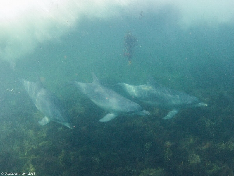 dolphin swim South Australia underwater