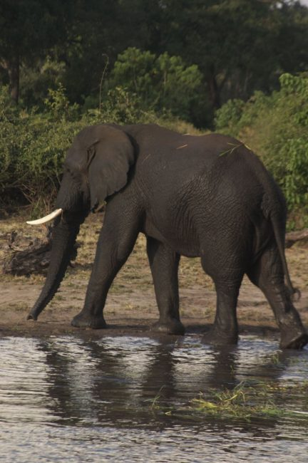 world-wildlife-african-elephant