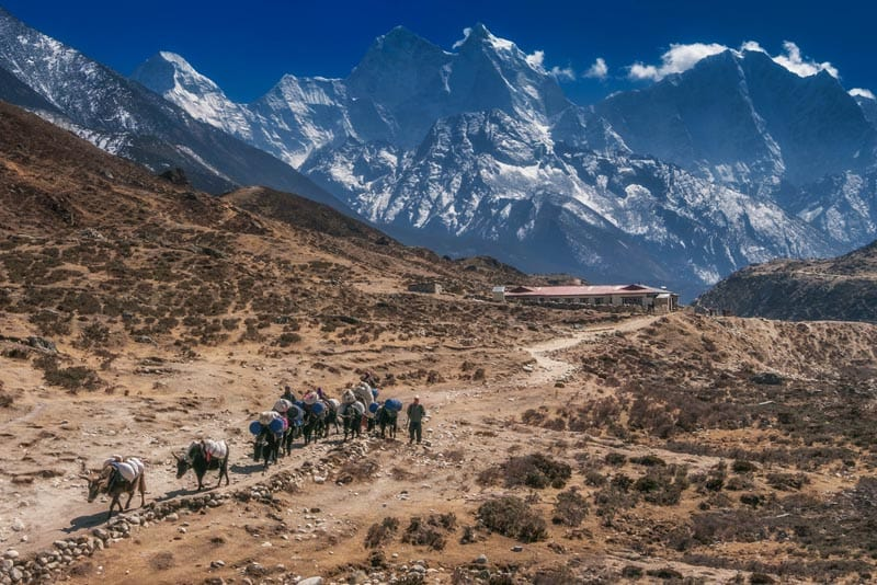 mount everest base camp trek cows