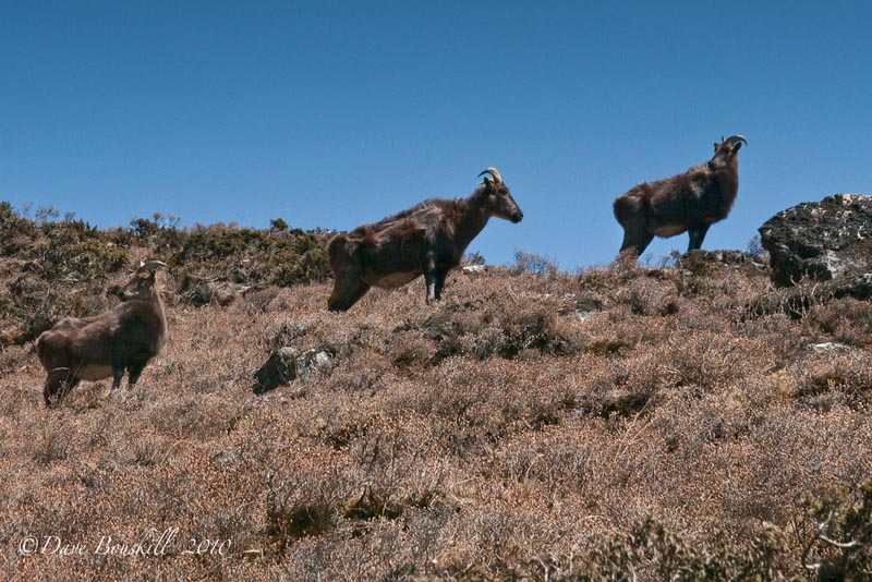 ebc trek wildlife rams