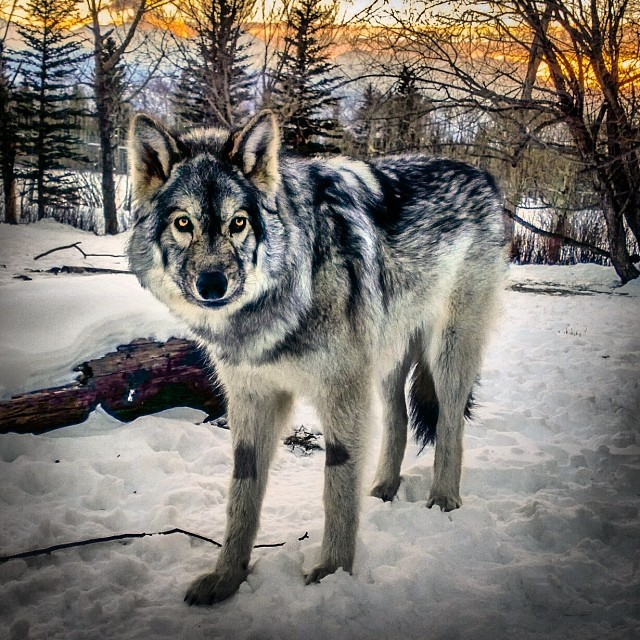 Wolf Dog Canmore Alberta