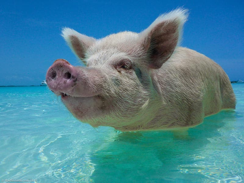 swimming pigs of the Exumas