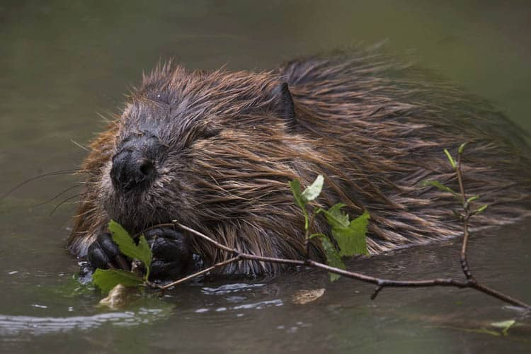 facts about canada | beaver swimming