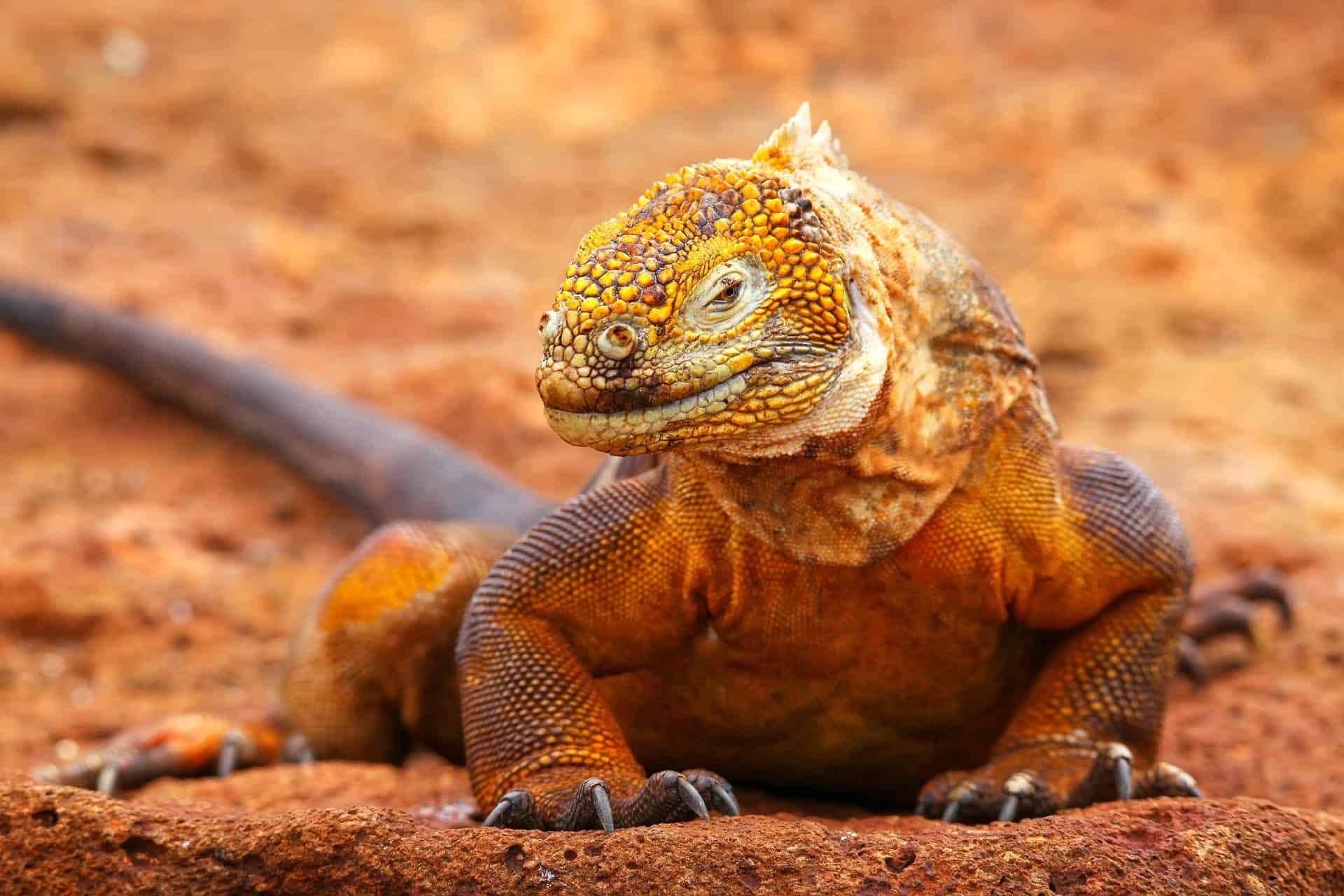 wildlife in the galapagos land iguanas