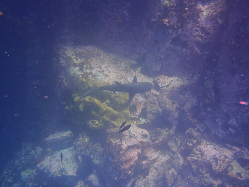 galapagos shark - species in galapagos islands