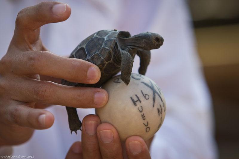 galapagos tortoise baby