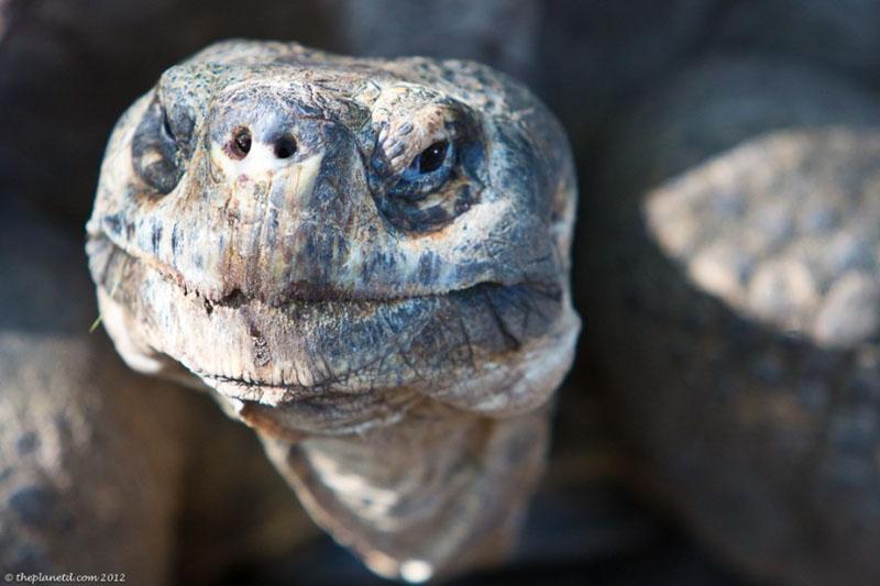 tortoise face galapagos