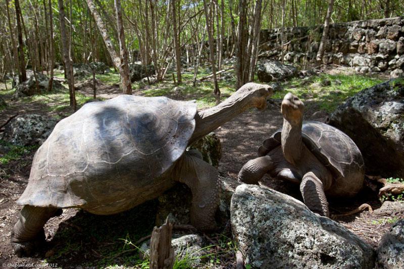 galapagos tortoise fighting
