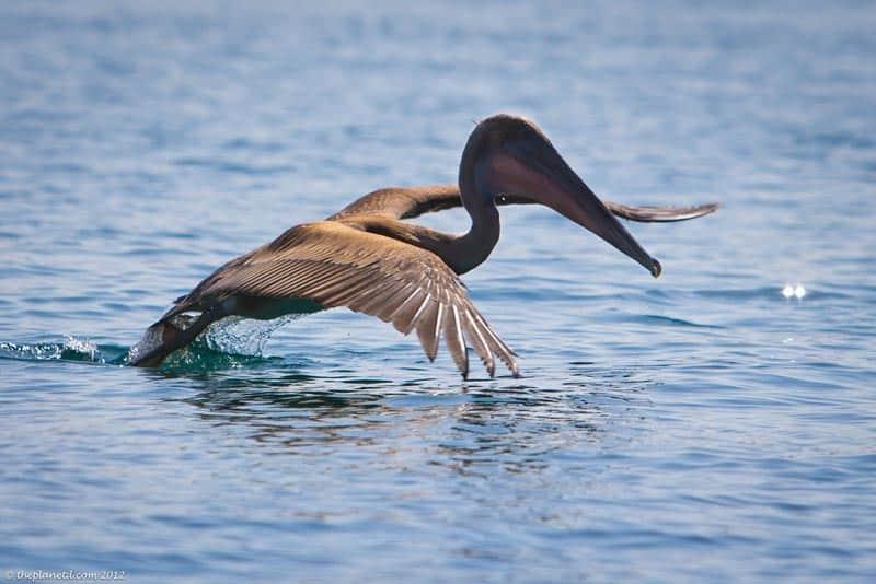 Galapagos wildlife pelican