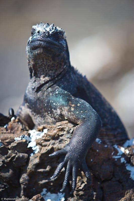 galapagos wildlife marine iguana