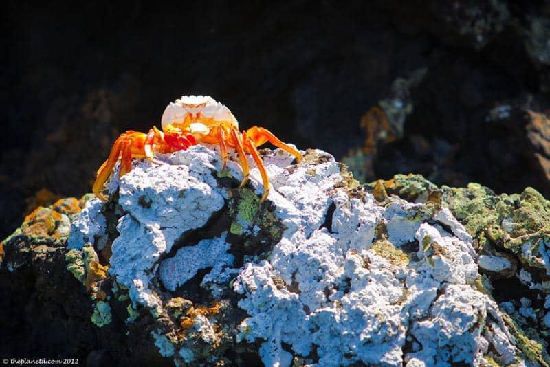 animals of the galapagos crab