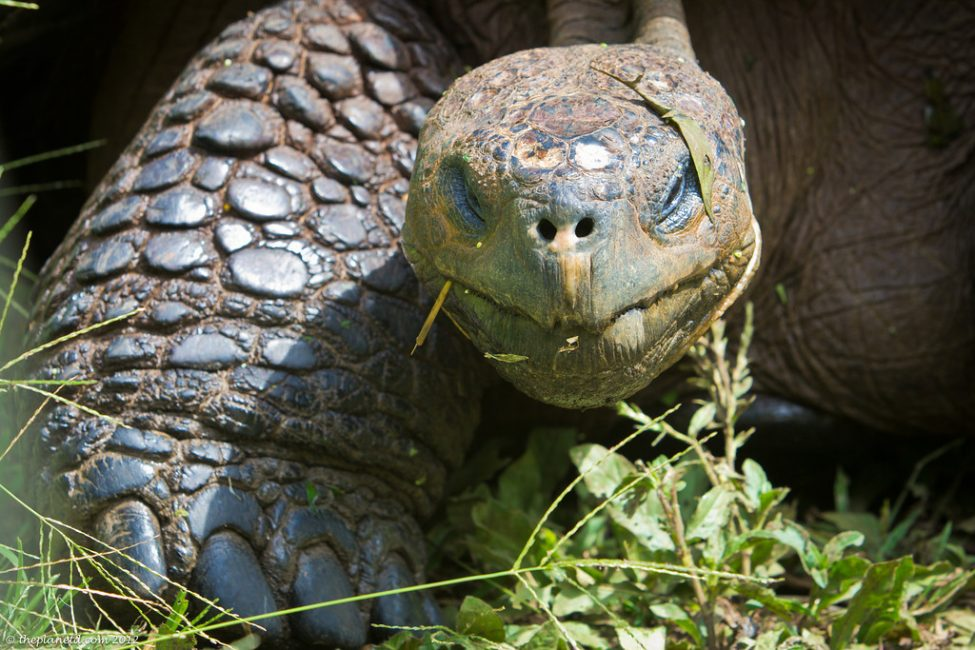 Galapagos Animals in Pictures Turtle