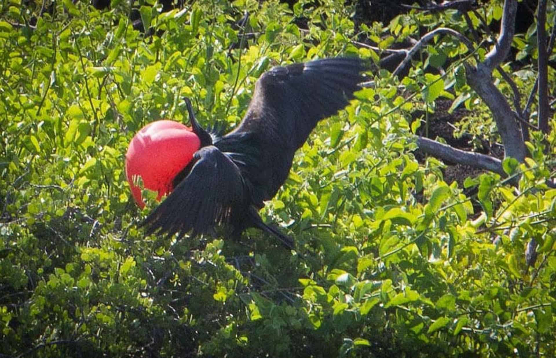 Mating ritual of the Frigate Bird - Pumping out chest