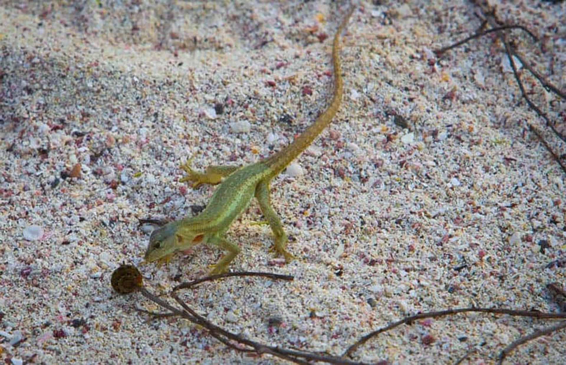 galapagos islands animals lava lizard