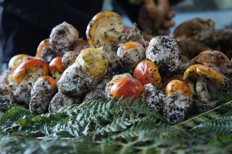 mushrooms gargano