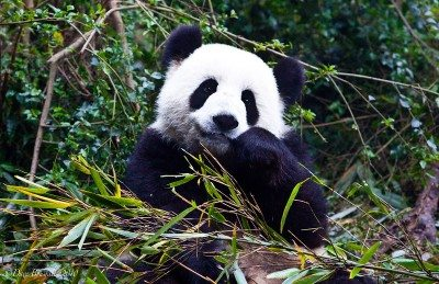 things to do in china visit the pandas of chengdu