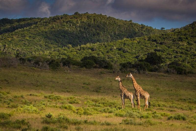giraffe field