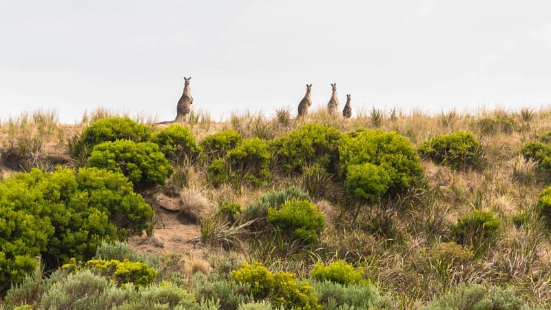 kangaroos along the great ocean road walk