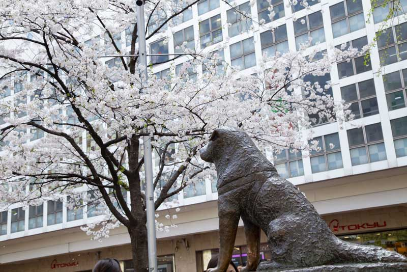 what to do in tokyo | Hachiko Statue