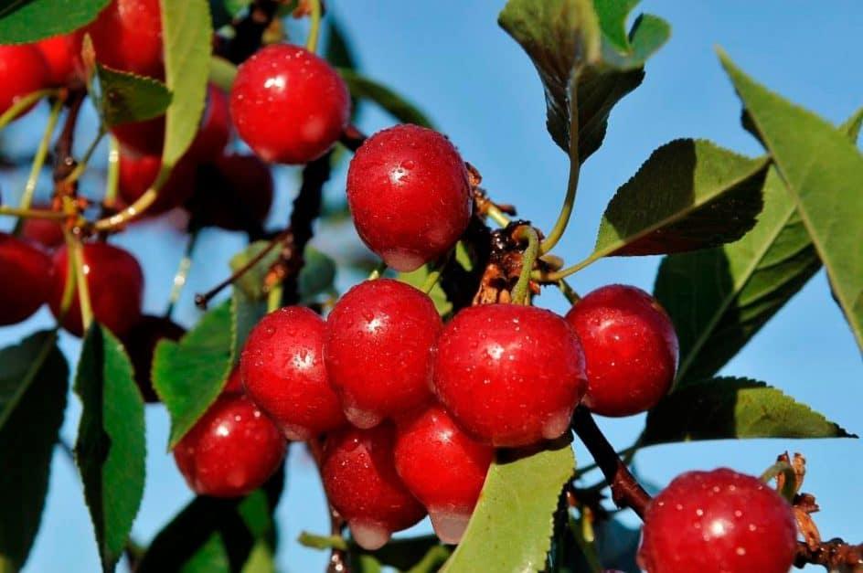 best travel snacks healthy tart cherries