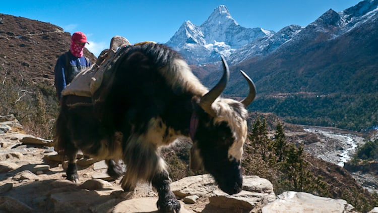 picture of guide with his yak on Everest base camp