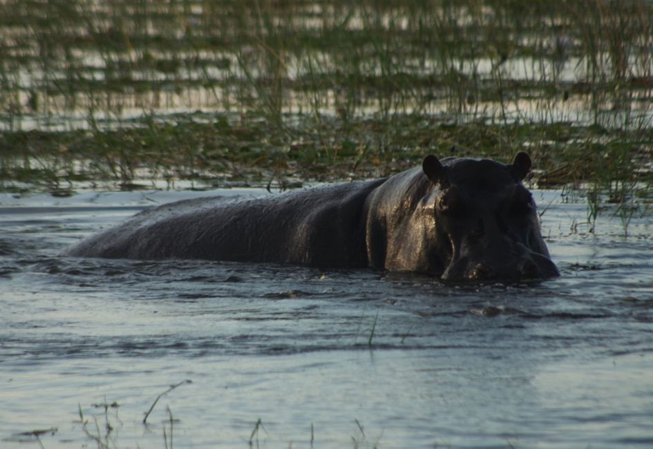 A hippo half in water of Chobe National Park Botswana