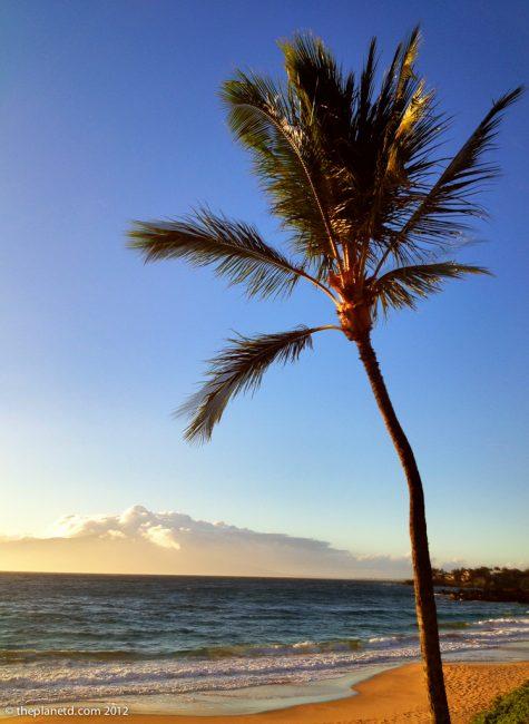 palm tree on beach in Hawaii