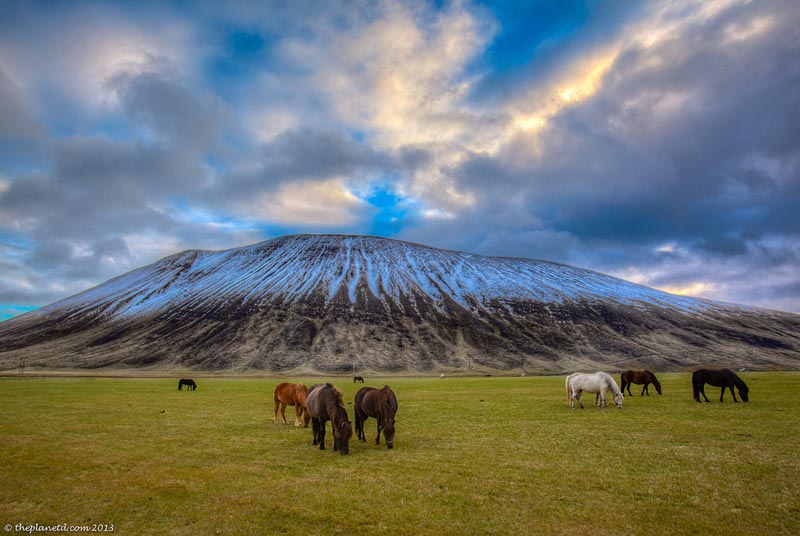 iceland horses in front of a mountain