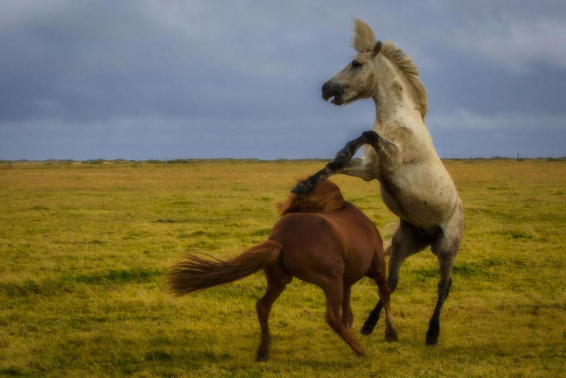 photos of iceland horses fighting