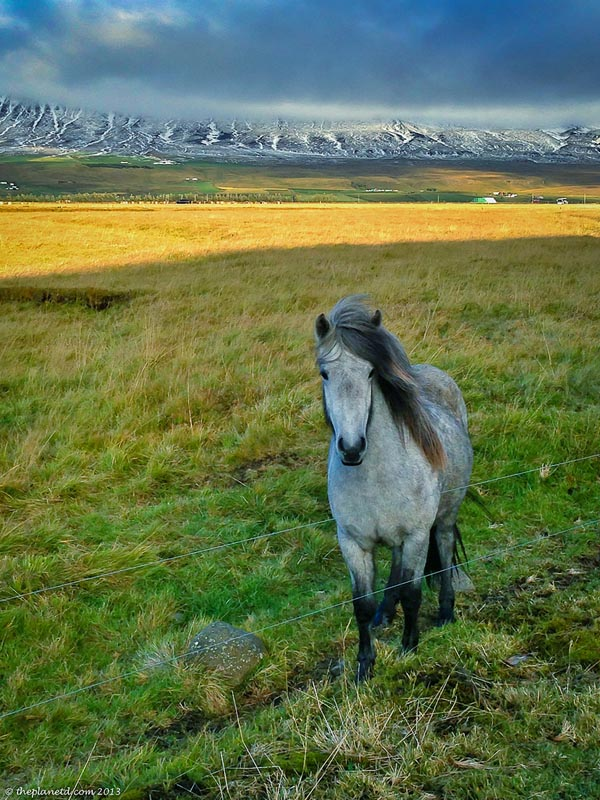 young icelandic horse
